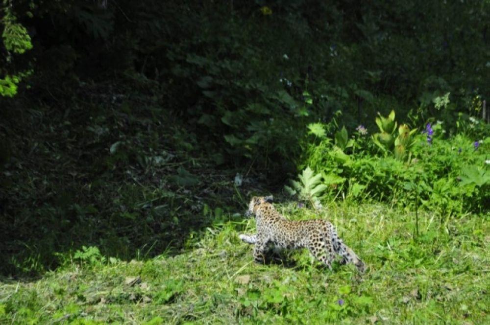 Общая популяция переднеазиатского леопарда в мире оценивается в 870-1300 особей: больше всего в Иране и Афганистане. В России этих хищников не осталось.