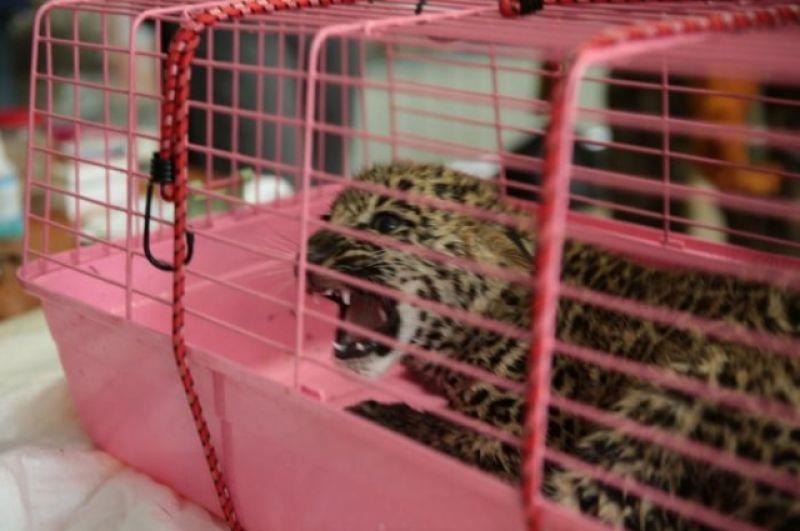 Первые детеныши леопардов были привезены в Центр из зоопарков разных стран мира, а затем эти кошки должны были дать потомство, которое можно растить в дикой природе, без вмешательства человека.