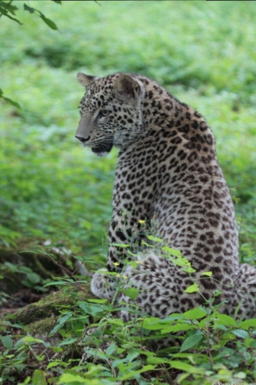 Первые три особи переднеазиатского леопарда были выпущены летом 2016 в районе склона горы Ятыргварта Краснодарского края.