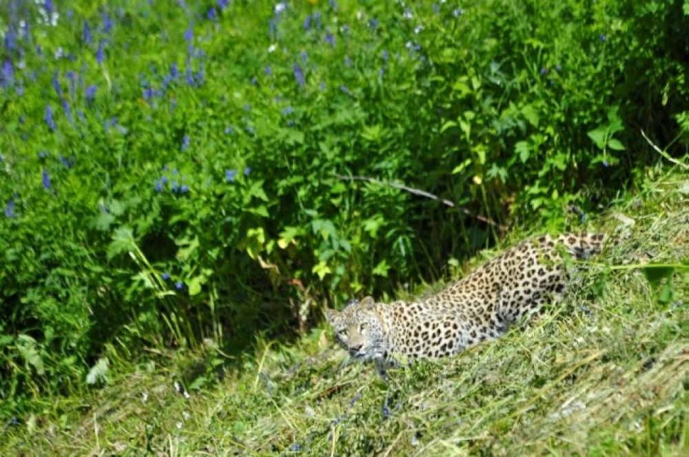 Леопарды, выращенные в Центре, должны поселиться в горах в максимальном отдалении от населенных пунктов, там, где для них кормовая база будет достаточной.