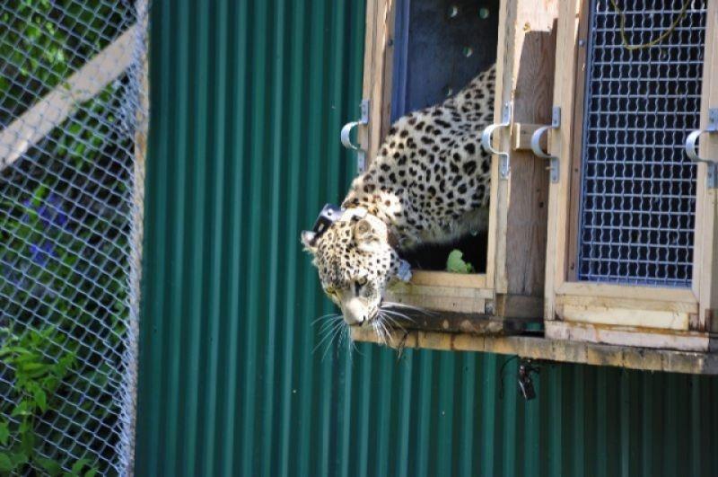 Молодой леопард осваивает территорию Центра.
