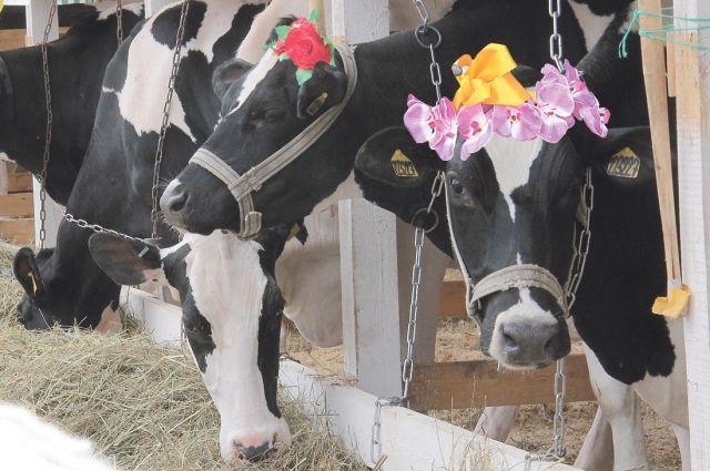 Купить племенной скот нижегородским аграриям поможет областная программа.