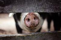 В трёх районах области карантин из-за чумы свиней.