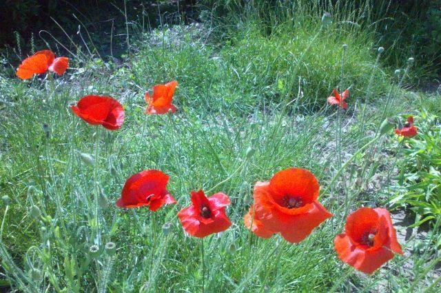 Маки очень красивые цветы, но некоторые их выращивают отнюдь не для красоты...