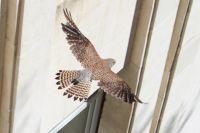 Настоящий сокол, забитый тюменскими воронами, поселился в квартире