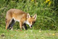 Молодой лис забрел на оренбургскую пасеку.