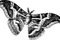 В Тюмени летают стаи непарного шелкопряда
