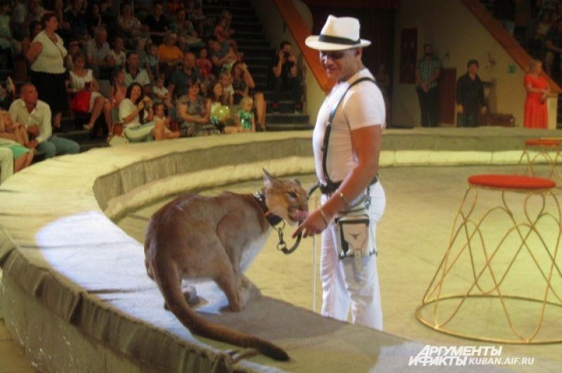 Канадская пума в руках заслуженного артиста России Владимира Исайчева ведет себя, как домашняя кошка.