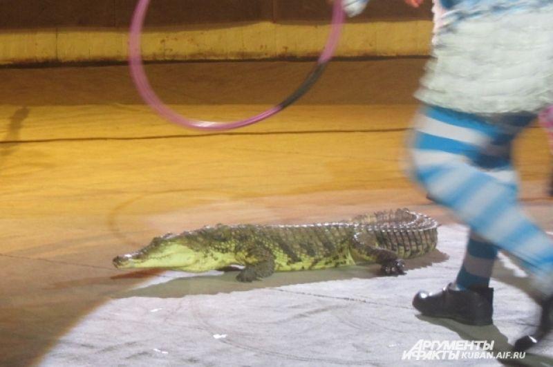 Например, вот такой крокодил, которому дали пройтись по арене.