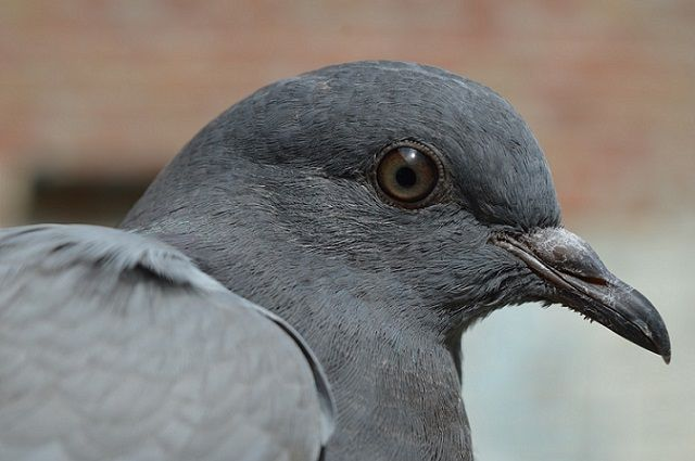 «Пленник вентиляции» - тюменские спасатели освободили маленького голубя