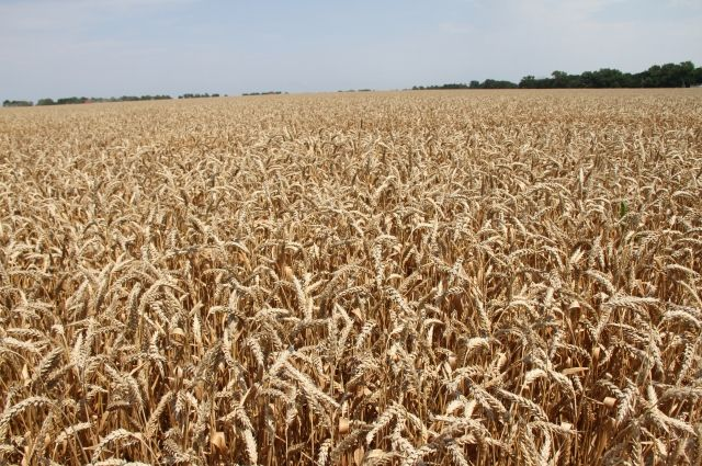 В Оренбуржье в семи районах началась уборка зерновых.