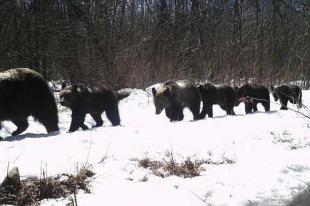 Большая семья косолапых в марте отправилась из Китая в Россию.