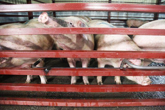 В «Свинокомплексе Пермском» за долги предприятия арестовали свиней.