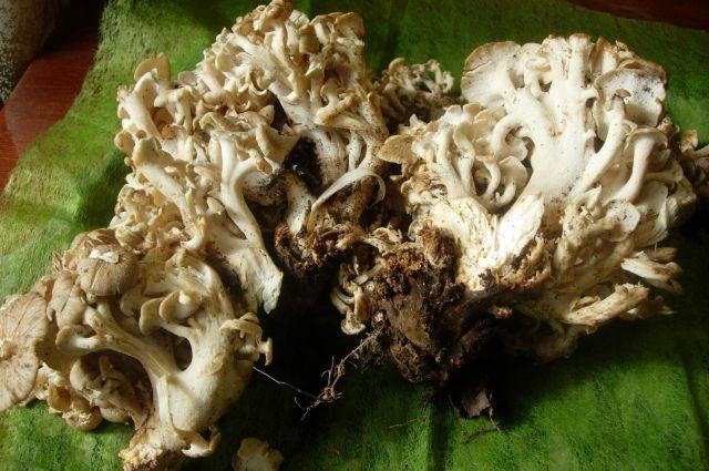 Наёденный гриб весит 2,5 кг.