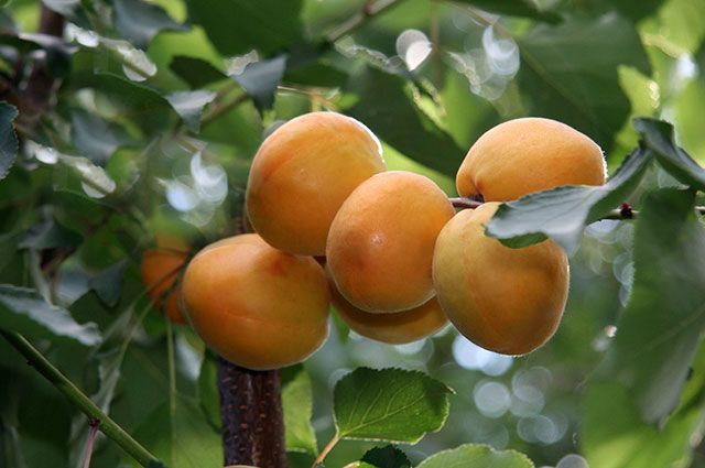 Эти абрикосы созрели  в Центральной России.