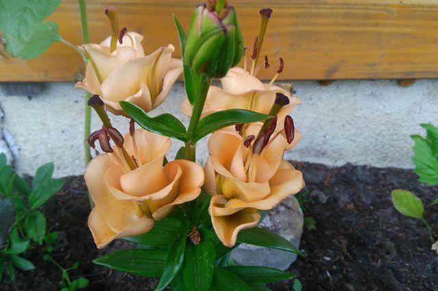 Лилия Apricot Fudge.