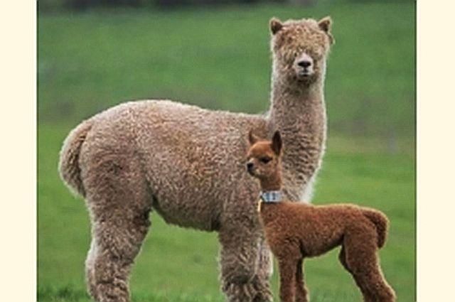 В тюменский зоопарк приехала альпака, а забавные сурикаты отправились на юг