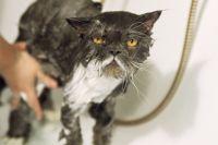 Кошку при первом купании главное не спугнуть