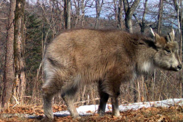 Редкий зверь живёт в Приморье.