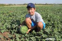 49 тыс. га арбузов посеяли в этом году в Соль-Илецке.
