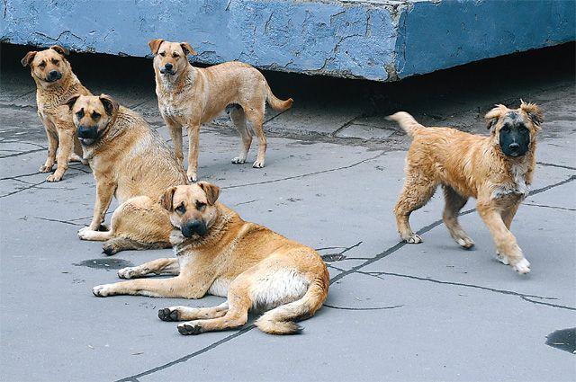 Стаю собак часто видят и на территории ближайшей школы.