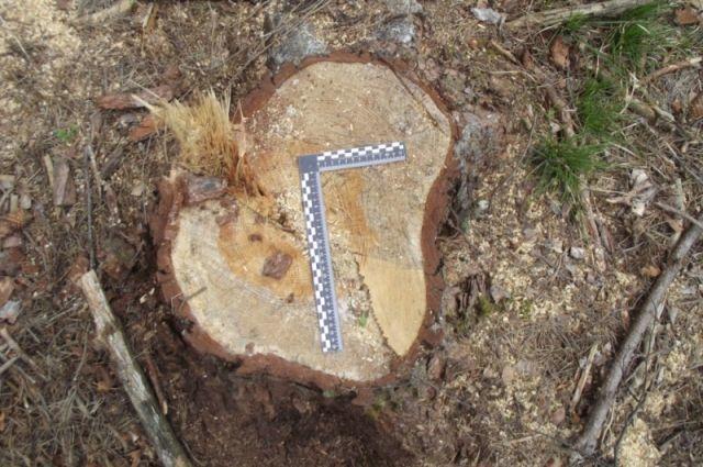 Незаконные рубки в основном проходят в лесах, не переданных в аренду, или на глухих окраинах арендуемых участков.