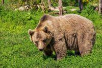 В Кузбассе медведь воровал еду в детском лагере.