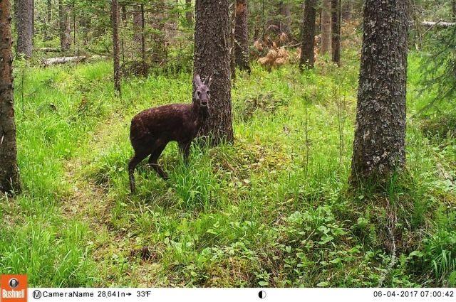 Вфотоловушку на«Столбах» попал самый небольшой олень
