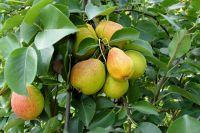 Саженцы груши лучше покупать в августе, чтобы вы могли убедиться, что побеги и листья здоровые.