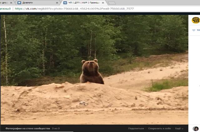 Рядом с Пангодами гуляет бурый медвежонок