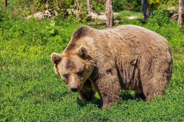 В США медведь «угнал» внедорожник и попал на нем в аварию