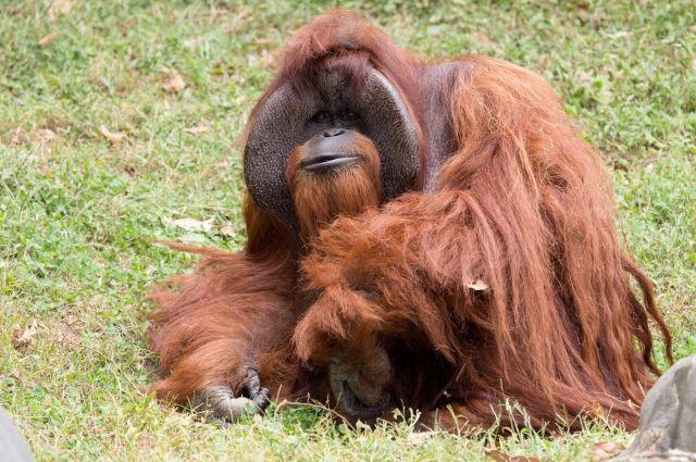 В США скончался орангутан, знавший язык жестов