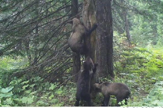 Молодые медведи любопытны, с удовольствием обследуют новые территории, выходя при этом и в туристический район.