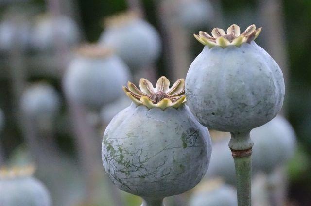 Изъятые растения направили на исследование.