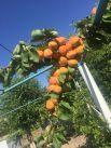 У Николая Кузнецова из с. Курсавка небывало щедрый урожай в этом году абрикосов.