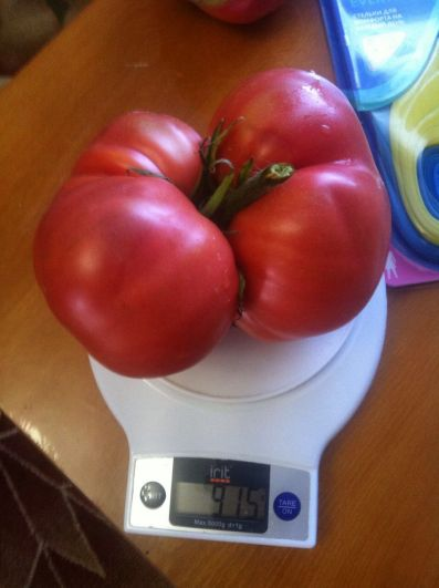 У Николая Кузнецова из с. Курсавка Андроповского района уродился просто гигантский помидор, весом почти в 1 кг.