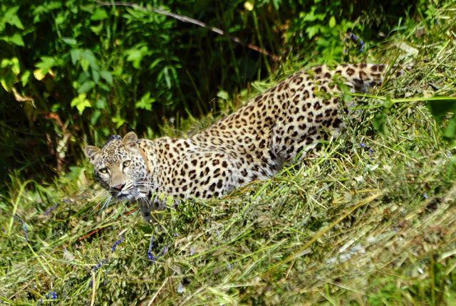 Леопард находится под пристальным вниманием природоохранных организаций.