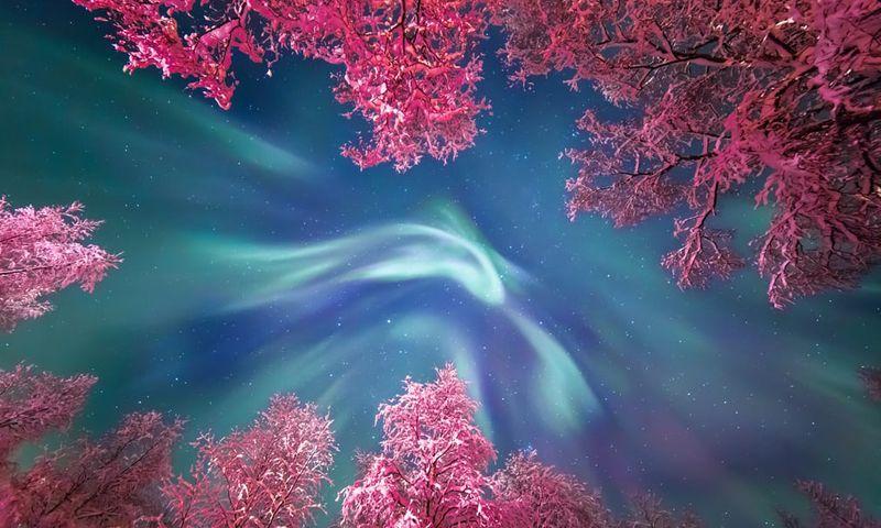 Юлия Жуликова (Россия). Полярное сияние над заснеженными деревьями, подсвеченными розовым светом уличных фонарей, в Мурманске.