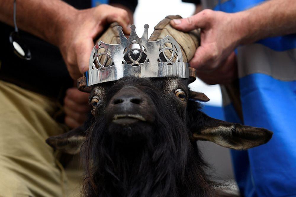 10 августа. В ирландском городке Киллорглин прошла торжественная церемония коронации козла. Согласно древней традиции на три дня животное стало формальным правителем города.