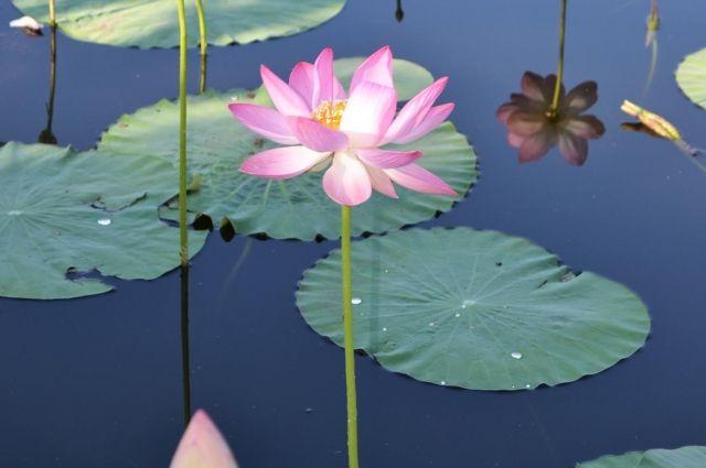 На озере Ханто зацветёт лотос