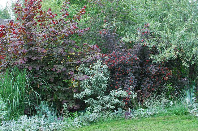 Лещина в композиции с другими кустарниками.