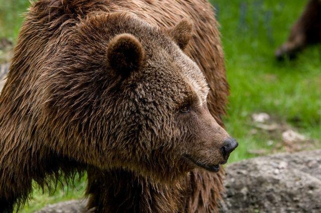 Медведица вела себя мирно