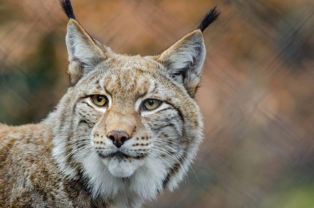 Министра окружающей среды Польши обвинили вубийстве вымирающей рыси