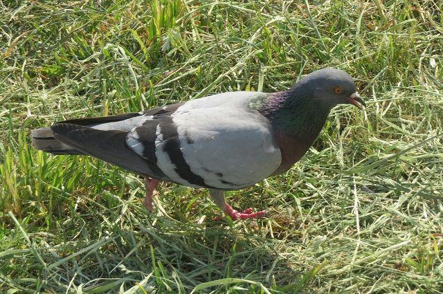 Юным тюменцам отбили охоту толкать несчастных голубей в днища танков