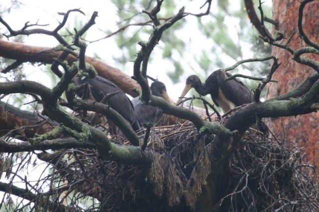 Птенцы черного аиста