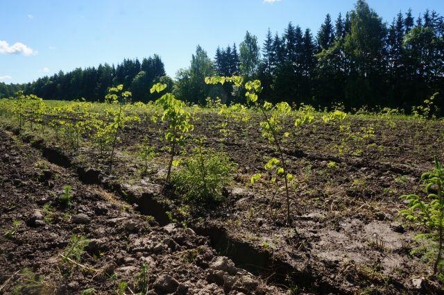 Деревья будут выращиваться в мини-питомнике.