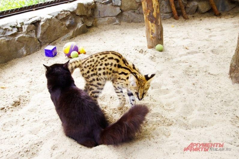 Вторую заботливую маму зовут Черная. Она также случайно стала обитательницей зоопарка и принесла пользу диким зверям.