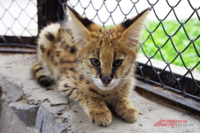 А хищные из породы кошачьих вырастут большими и сильными животными.