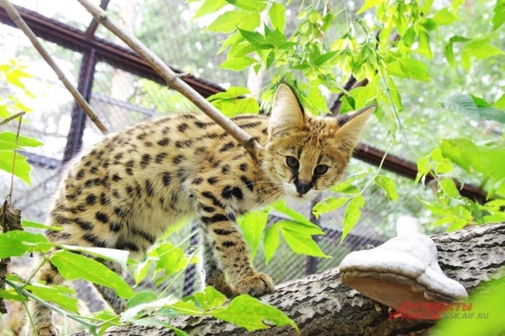 Другие хищные пушистики - двухмесячные сервалы, которые  стали приемными детьми для другой кошки.