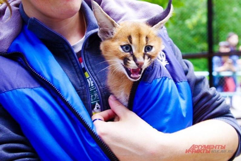 А возможно, что котят отправят в другие зоопарки мира.